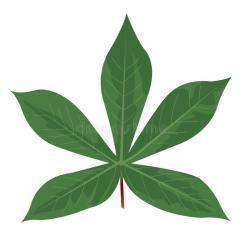 green-cassava-leaves-white-background-103065403